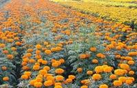 nong dan lang hoa tien giang phan khoi vi hoa tet trung mua duoc gia