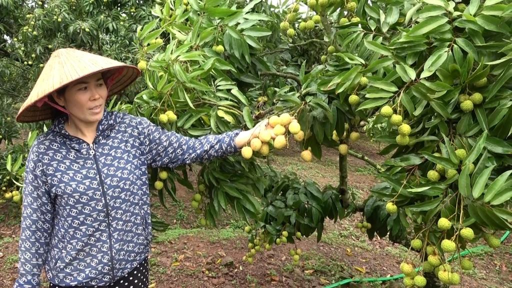 Tem truy suất nguồn gốc không làm khó bà con vùng trồng vải Lục Ngạn