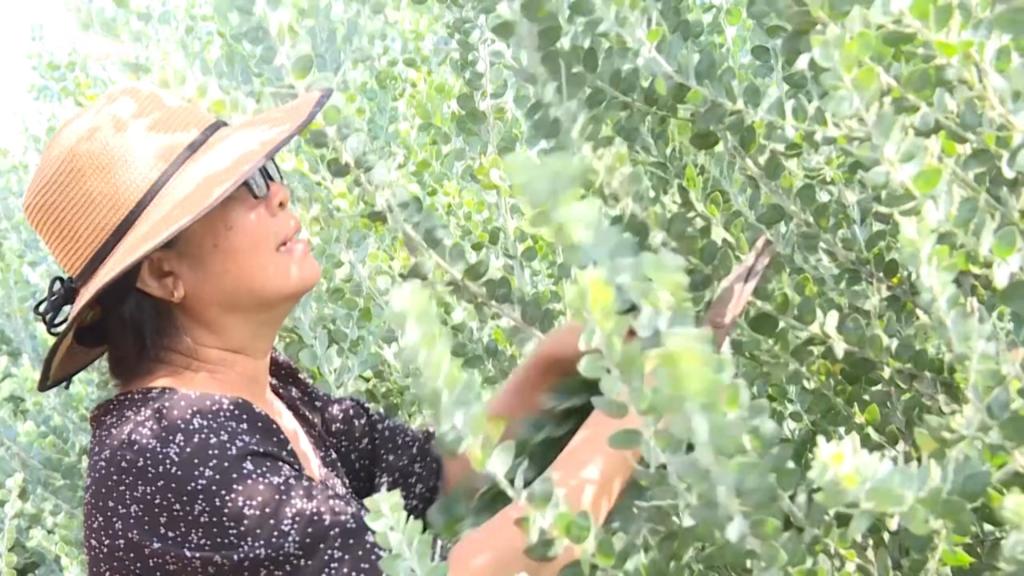 Độc đáo trồng Mimosa lấy lá ở Di Linh - Lâm Đồng